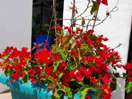 Raaswater Langebaan's_Greek_Bourgainvilleas